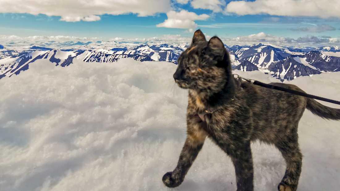 Katten Kattis njuter inte av utsikten på Kebnekaise.
