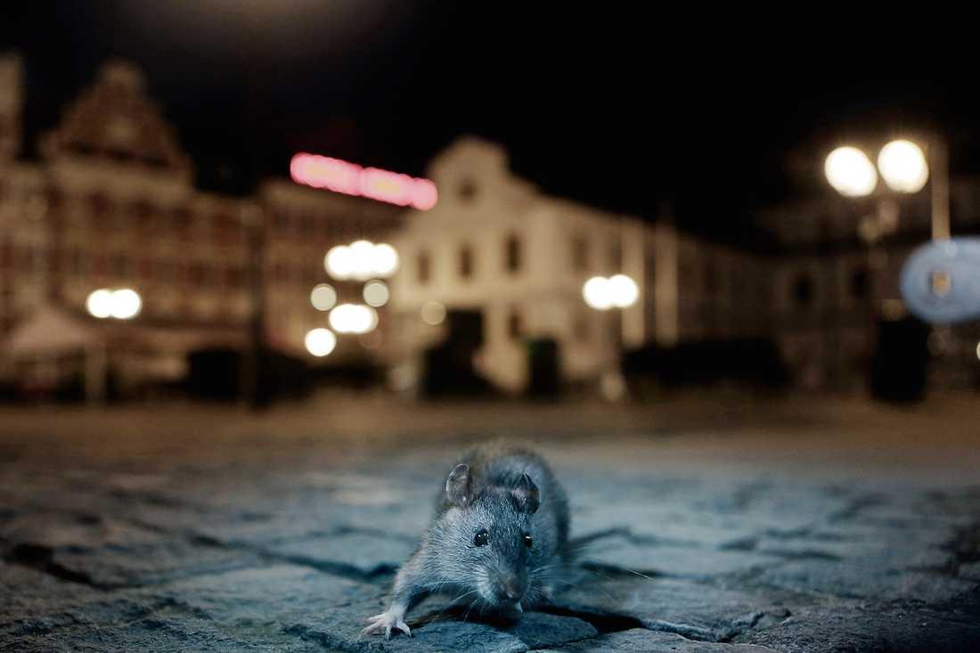 Hur råttan kommit in i skolan är inte känt. Arkivbild.