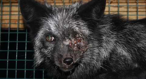 Djurens helvete Finska pälsfarmare låter sina djur växa upp i trånga nätburar. Där har rävarna en lite yta att röra sig på samtidigt som de stressade djuren attackerar varandra. Många djur visar upp svåra skador.