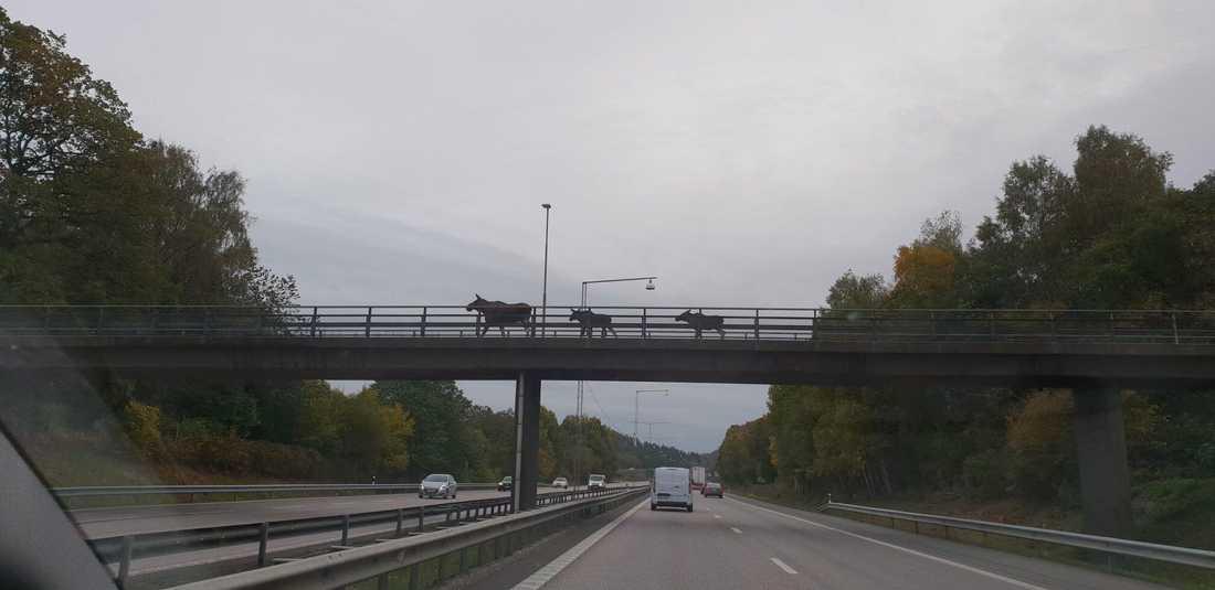 Från en sida till en annan. Älgkompisarna tog sig en promenad över en gångbro.