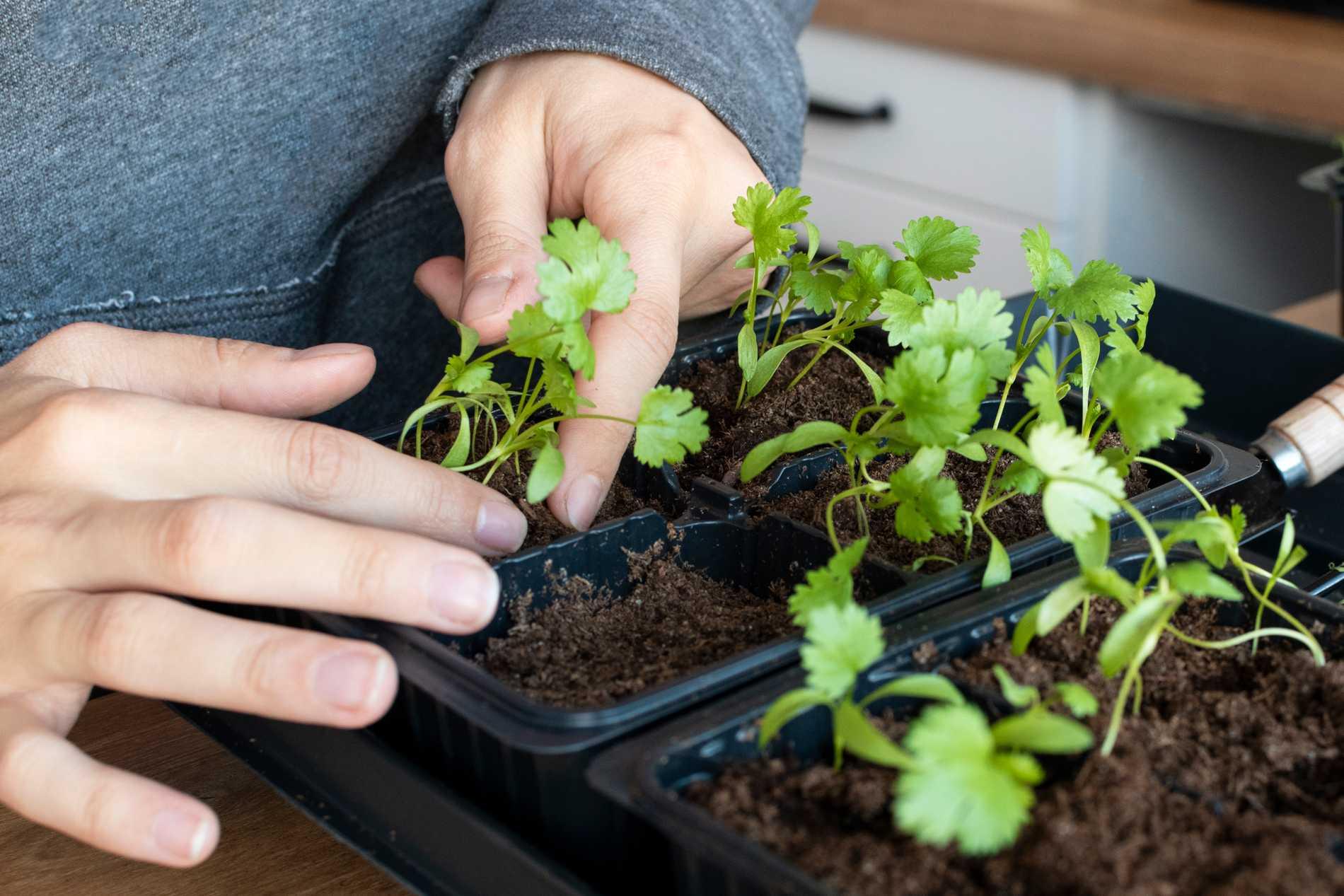 Koriander är en lättodlad och snabbväxande växt.