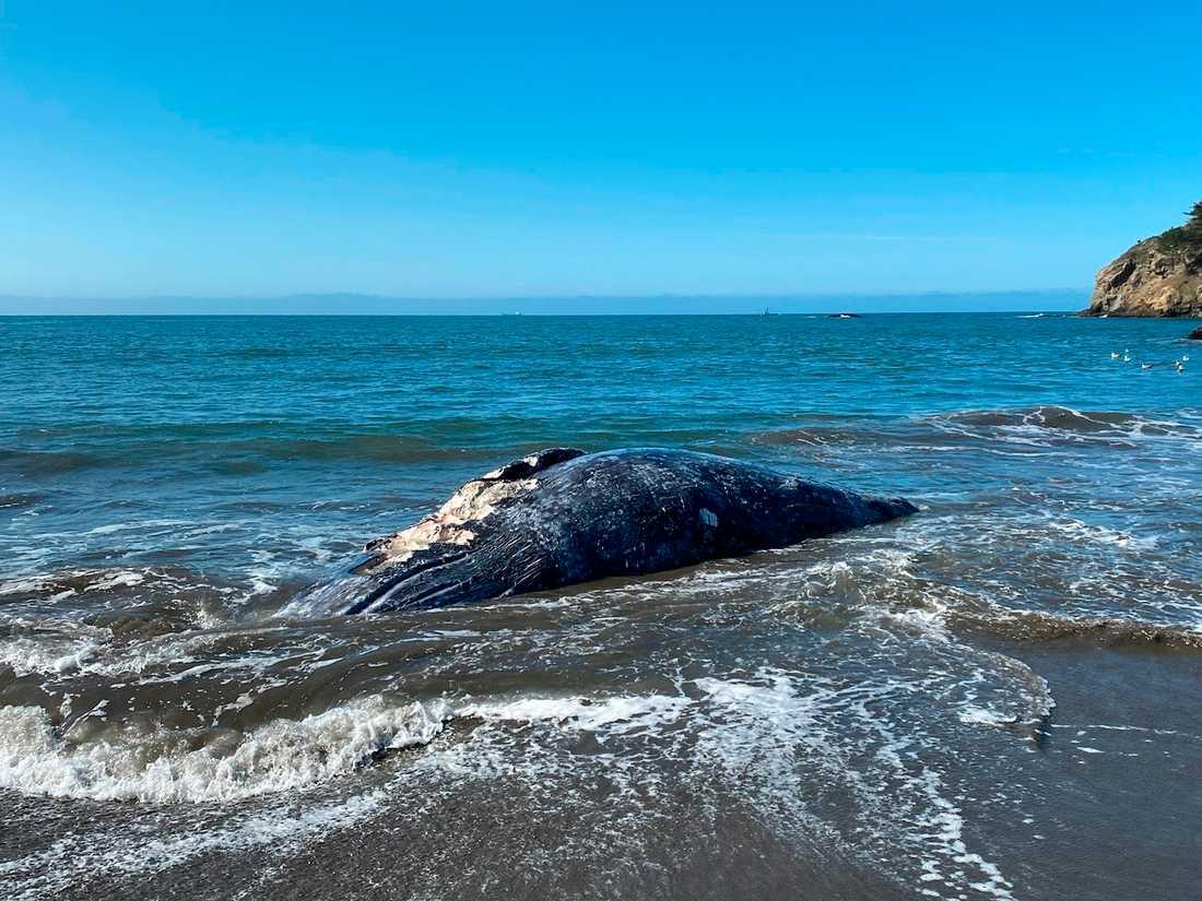 Två av de fyra strandade gråvalarna dödades av fartyg.