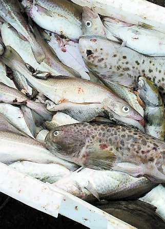 Torsken från Östersjön exporteras till flera länder i Europa.