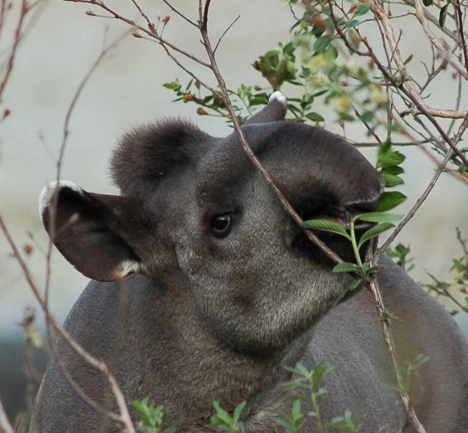 Tapirerna i Syd- och Mellanamerika har stor betydelse för många växters fröspridning.