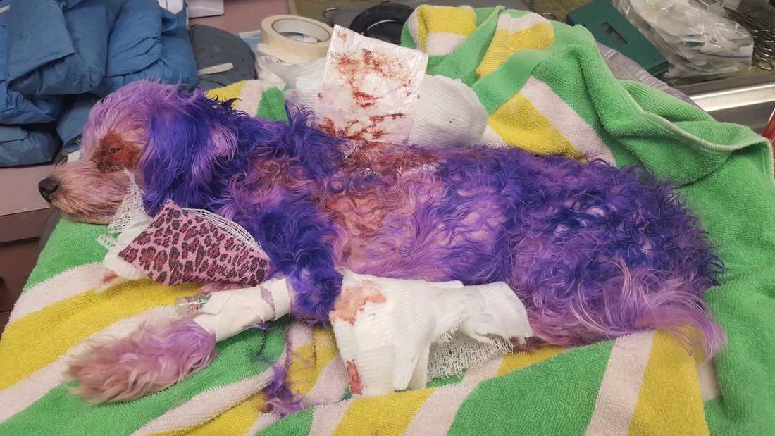 När hunden Violet kom in till djursjukhuset var pälsen färgad lila.