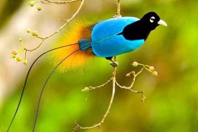 En miljon växt- och djurarter riskerar att försvinna de kommande decennierna. På bilden en blå paradisfågel.