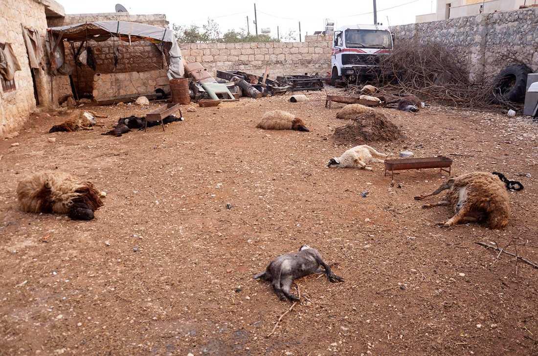 Döda djur ligger på marken i Khan al-Assar nära Aleppo. Boende i området säger att kemiska vapen användes i en attack av regimen.