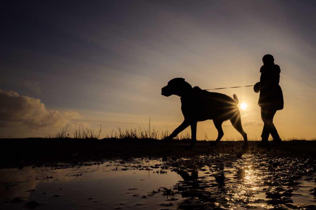 Flera gatuhundar som importerats från Ryssland till Sverige saknar tillräckligt skydd mot rabies. Hunden och ägaren på bilden har inget med händelsen att göra. Arkivbild.