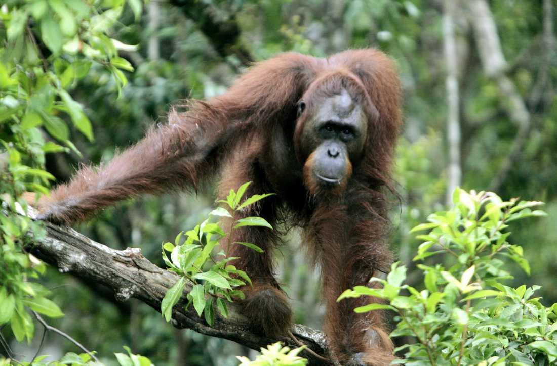 Orangutangerna på Borneo har minskat kraftigt på grund av skogsskövlingen de senaste 40 åren.