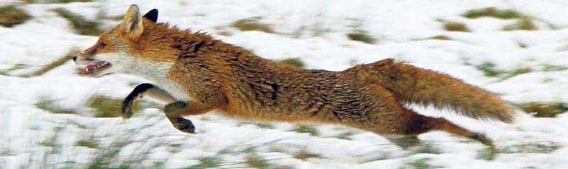 """30 procent av alla äldre rävar har skador efter hagel. """"En förklaring till hagelskadorna enligt forskarna är att vissa jägare slänger iväg ett skott så snart de ser en räv eller andra rovdjur"""", skriver debattörerna."""