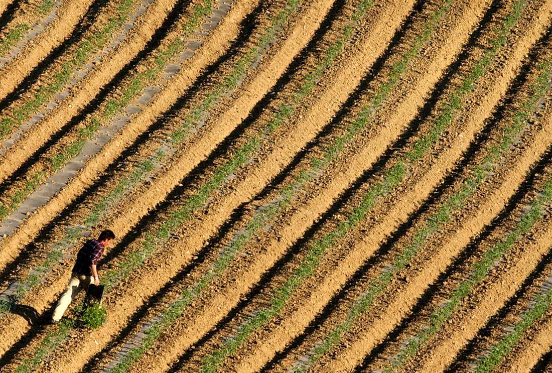 En grekisk jordbruksarbetare vid en tomatodling. Arkivbild.