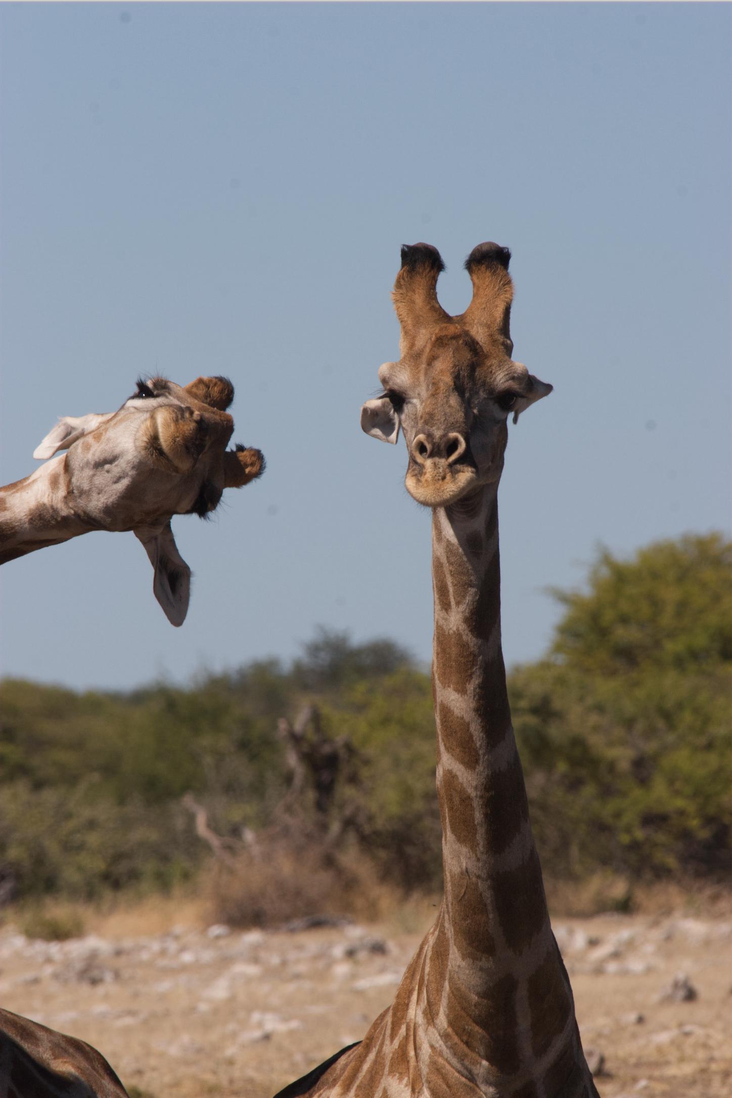 """""""Crashing into the picture"""". Giraffer som gärna är med på bild i nationalparken Etosha, Namibia."""
