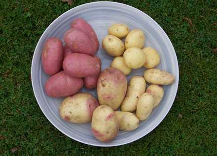 Potatis smakar inte bara potatis. Både honung och kronärtskocka gömmer sig bland de vanliga sorterna.