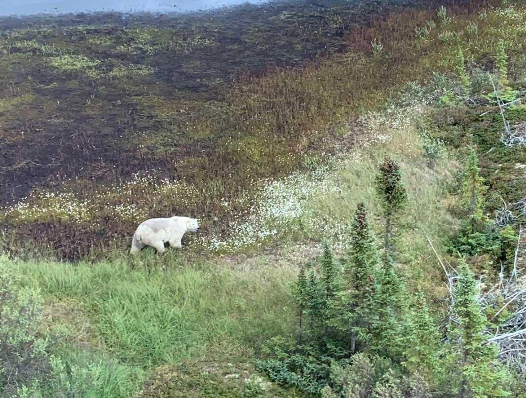 Poliserna som söker efter gärningsmännen såg en isbjörn i sökområdet.