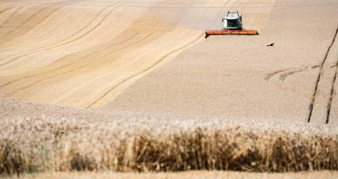 Intensivt jordbruk är en av anledningarna till minskad biologisk mångfald i EU, enligt rapporten State of the Nature in the EU. Arkivbild.
