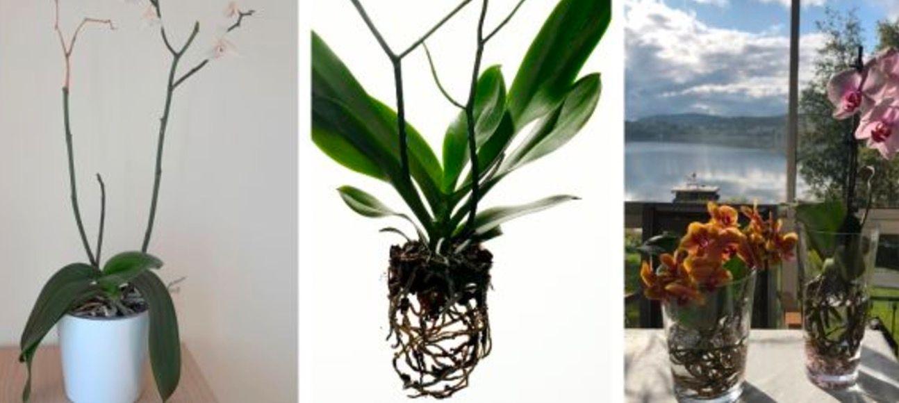 f orkid n att blomma igen s g r du aftonbladet. Black Bedroom Furniture Sets. Home Design Ideas