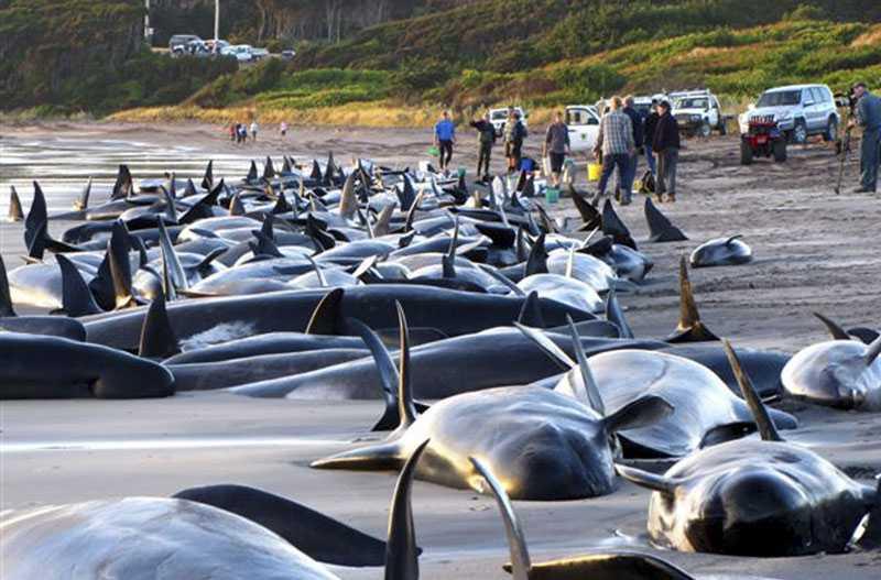 200 strandade Ett stort antal hjälparbetare fick kallas in när 194 grindvalar och ett halvt dussin flasknosdelfiner strandade på australiensiska King Island.