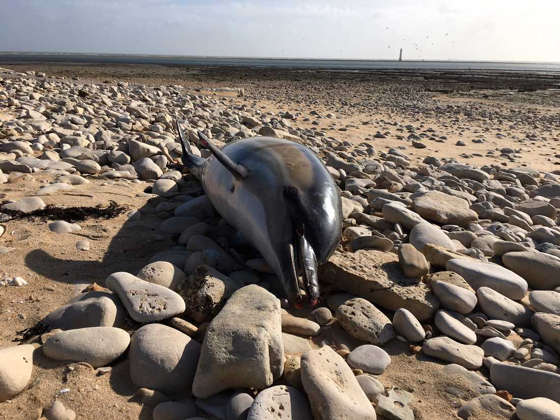 En död delfin vid Rivedoux, västra Franrike.