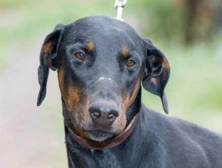 21. Hades, dobermann, hane, 1 år. När mamman i Hades familj fick besked om att hon var gravid fanns plötsligt ingen plats för en hund. doberman@algonet.se