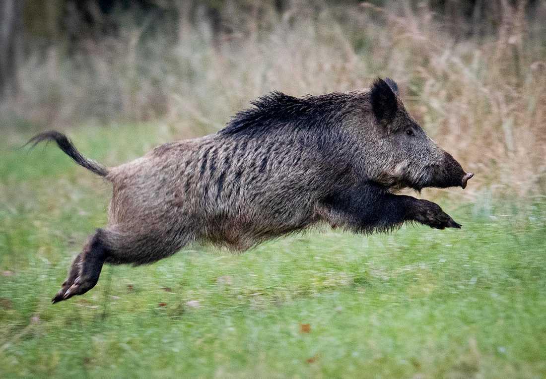 Två skånska vildsvin har visat sig vara smittade av en allvarlig och ovanlig form av salmonella. Arkivbild.