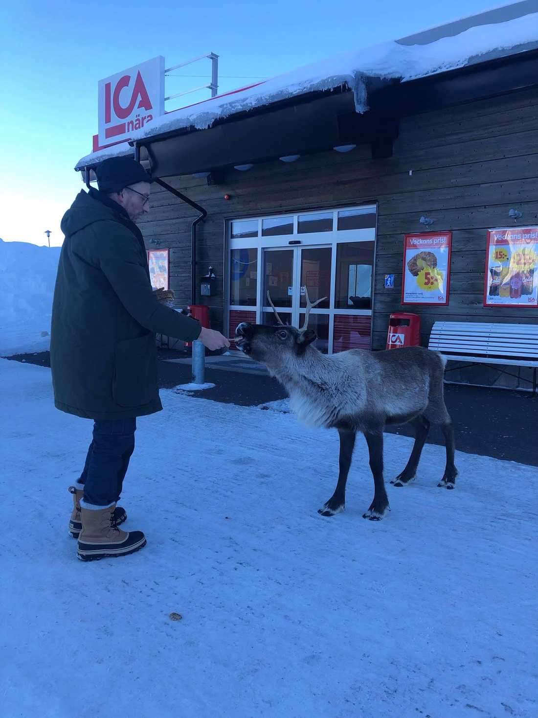 Petter Nilsson har under en tid matat renen med rågbröd utanför Ica-butiken.