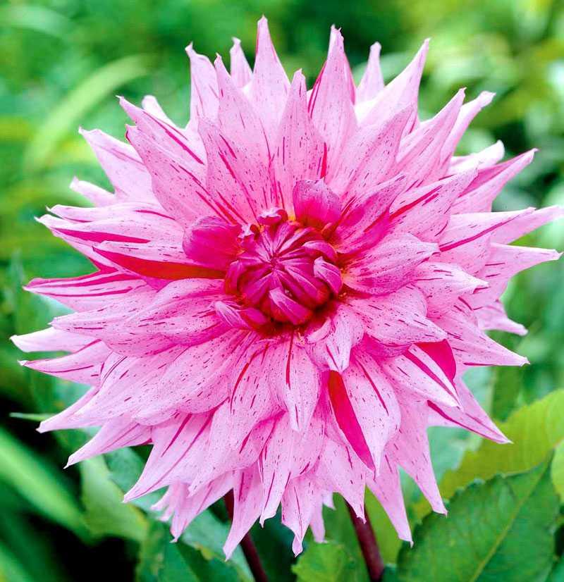 American Dream. Som en dröm, amerikansk eller ej. Läckra mörka stänk på en ljuvligt rosa bakgrund. Bladverket matchar med friskt grönt. www.nelson.se