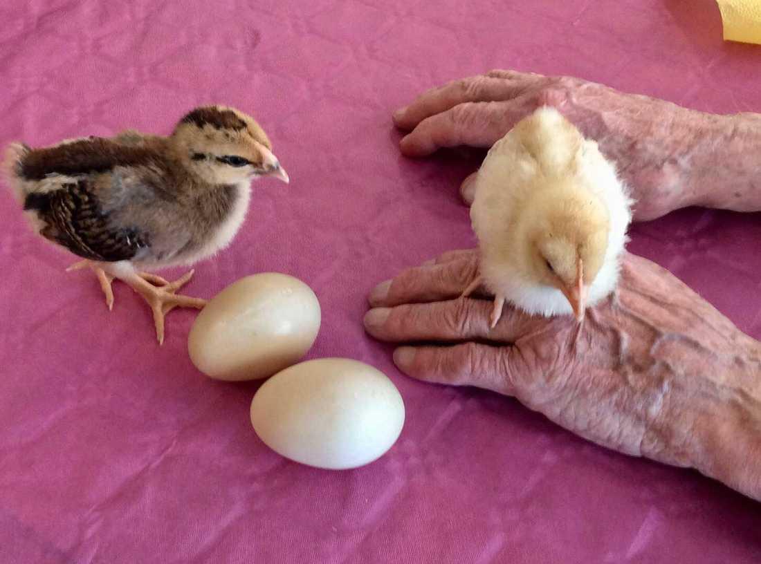Ett 40-tal äldre fick träffa kycklingarna.