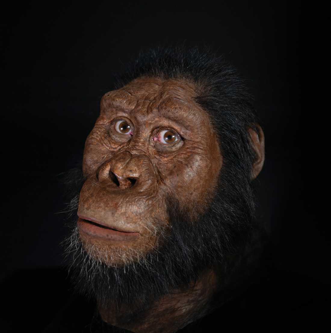 Tack vare skallen går det att lista ut hur Australopithecus anamensis en gång såg ut.