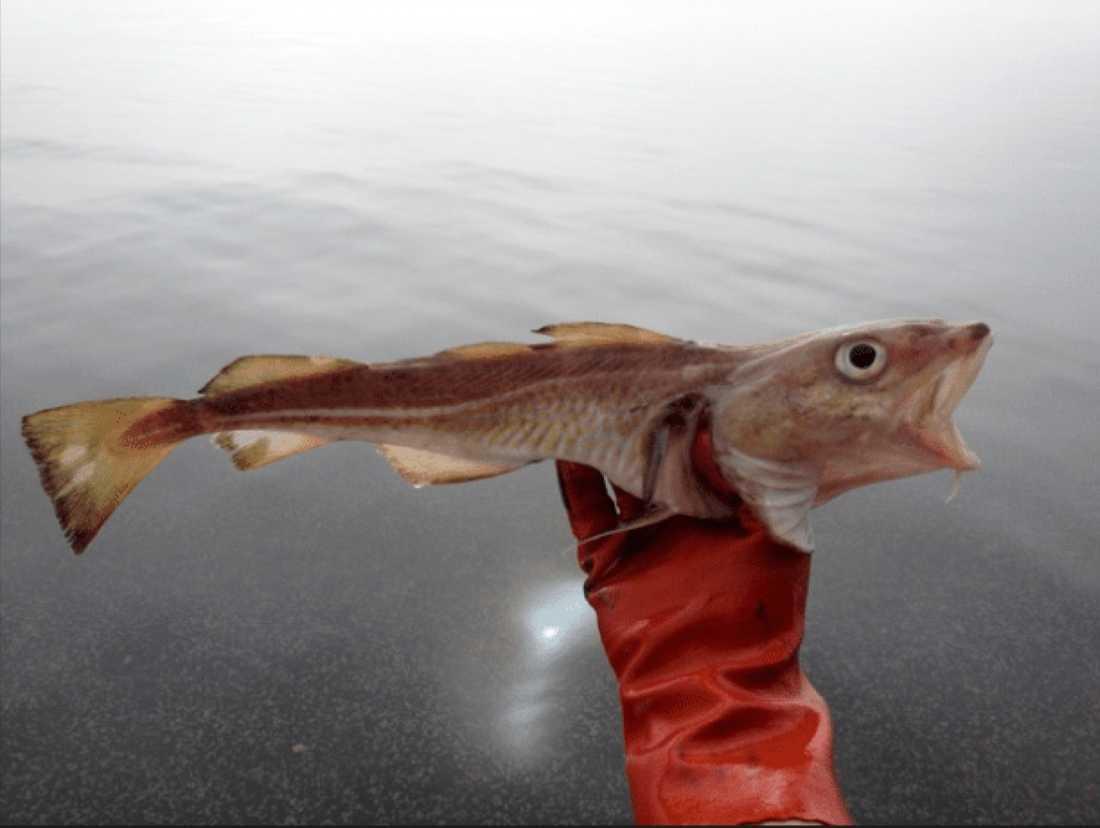 Extremt mager torsk, så kallad slipstorsk, från södra Östersjön.