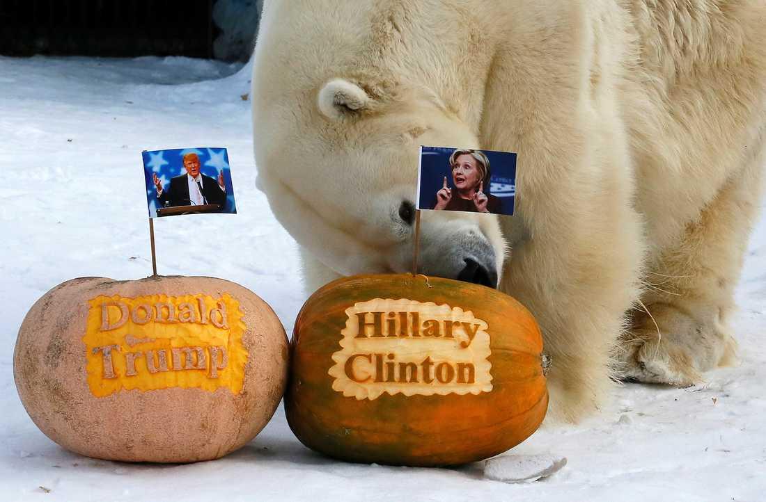 """""""TRUMPAD"""" PUMPA Isbjörnen Felix undersökte metodiskt de två fyllda pumporna med kandidatflaggor i..."""