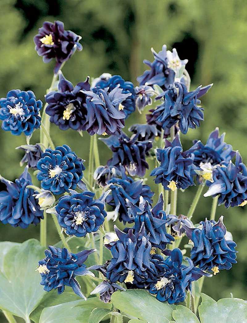 'Frilly dilly dark blue', Aquilegia. En snabb blick och det är lätt att tro att blåbär har slagit rot i rabatten. Tätt fyllda små bollar i blåaste blåbärsblått, det är inte utan att man vill smaka. (www.fron-och-sant.se)