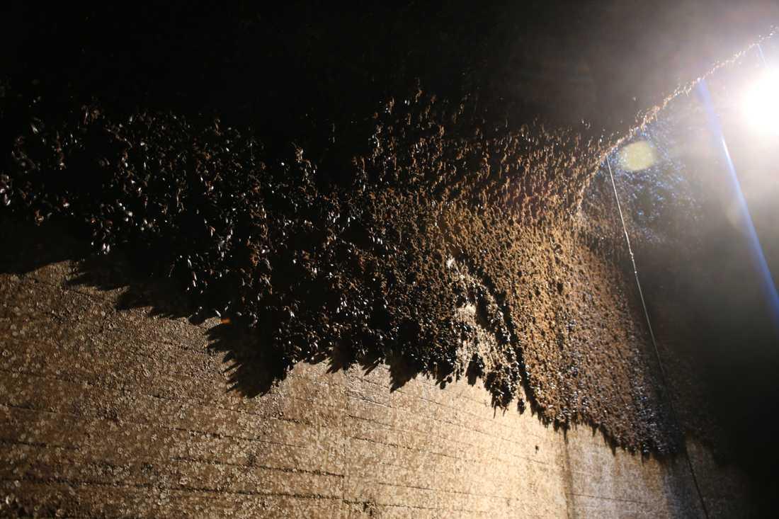 På Ringhals kärnkraftverk i Varberg finns gott om både energi – och musslor. I kylvattentunnlar som leder till reaktorerna frodas blötdjuren, något om varje år leder till omfattande saneringar.