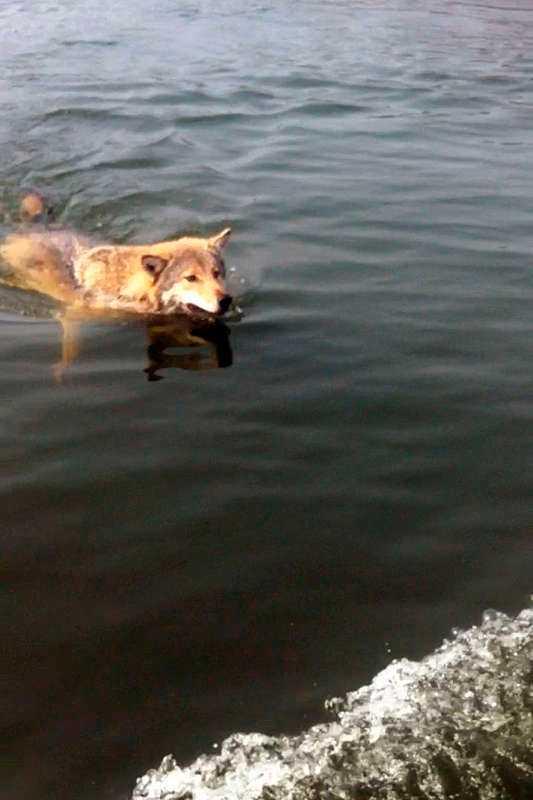 VARGHUNDSIM Den rovdjursansvarige på länsstyrelsen är övertygad – det var en varg som simmade förbi Tomas Andersson ute på Mälaren.