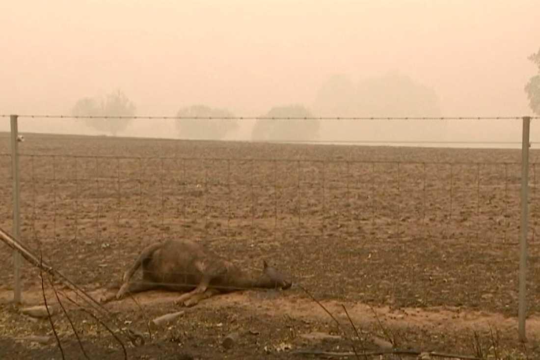 Många djur har dött i bränderna i Australien.
