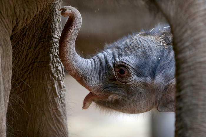 Elefantungar som föds på parken Yok Don får leva sitt liv utan turister på ryggen.
