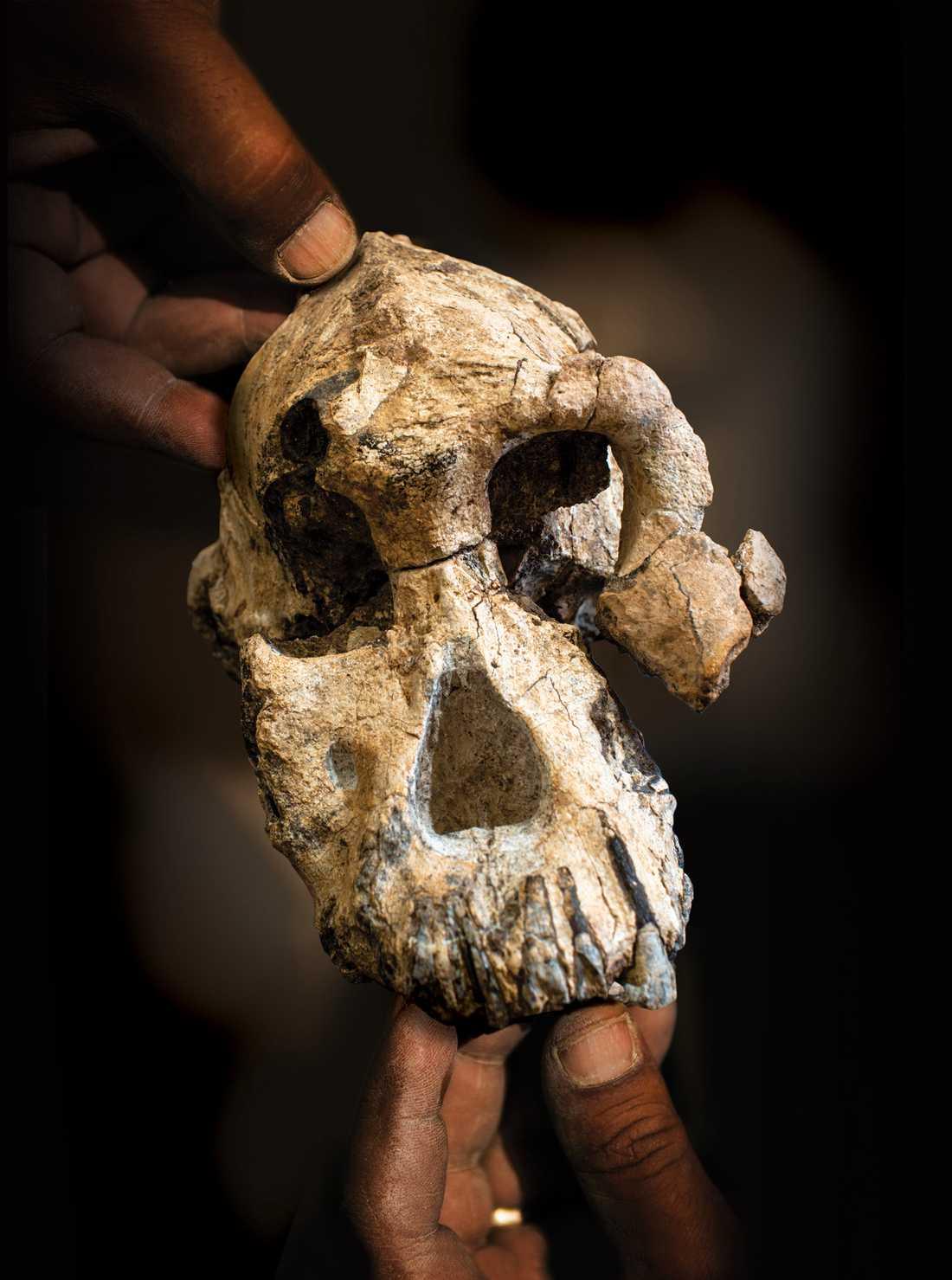 Trots sin litenhet tros skallen ha tillhört en fullvuxen hanne av arten Australopithecus anamensis som levde för 3,8 miljoner år sedan.