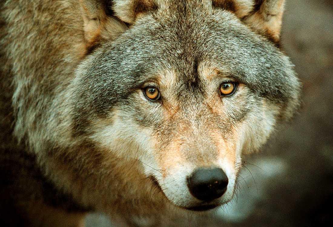 """""""Konsekvenserna av vargdebatten är betydligt värre än vargen själv"""", skriver Po Tidholm."""
