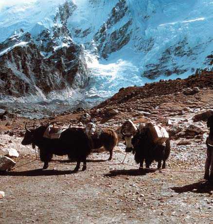 Under vandringen i Himalaya stöter vi på de tåliga jakarna.