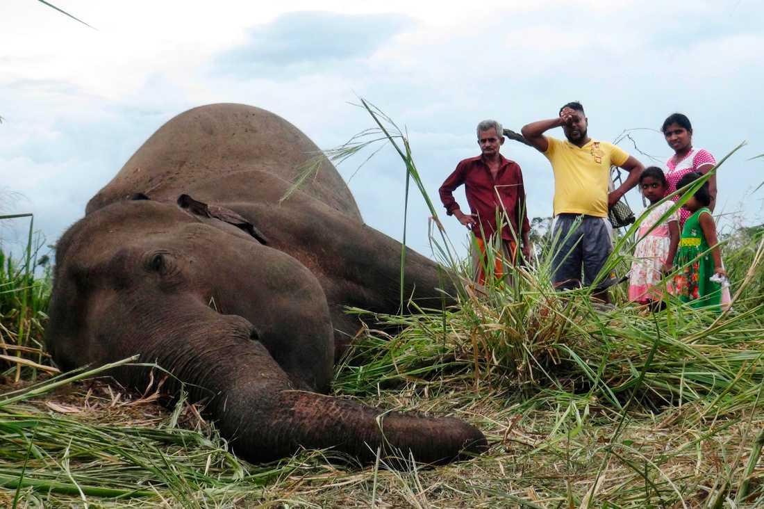 En död elefant nära byn Sigiriya i centrala Sri Lanka. Fyra döda elefanter hittades på fredagen och ytterligare tre på lördagen.