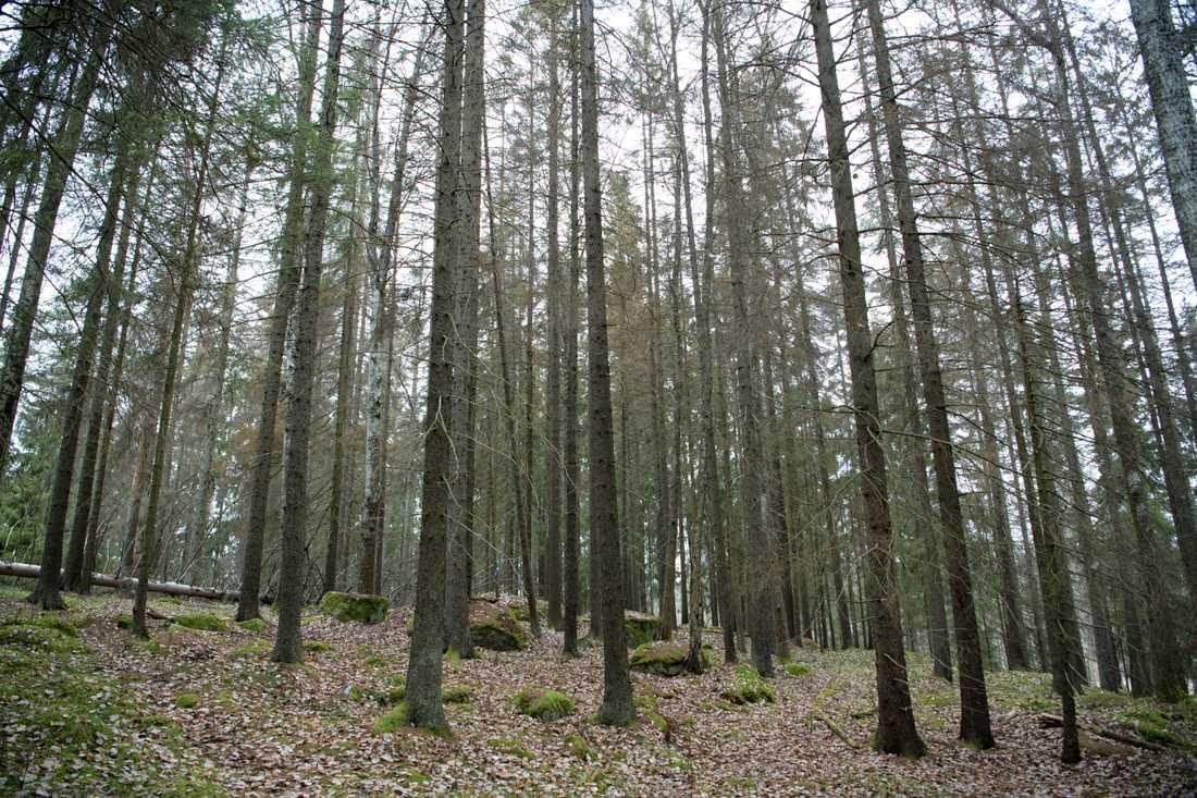 Granbarkborren vållade stora skador i skogen under förra året, inte minst på träd som försvagats av torkan 2018.