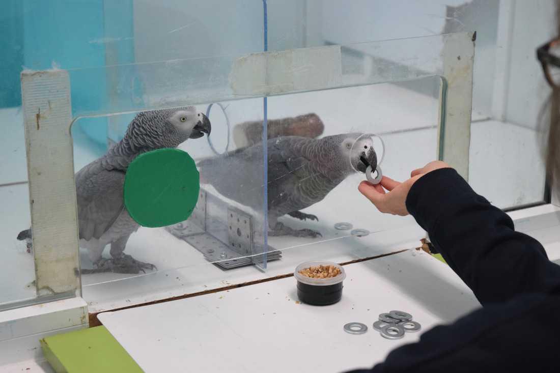 I det aktuella experimentet fick papegojan mat i utbyte mot en metallbricka. Om brickorna finns hos den papegoja som inte har möjlighet att ta emot maten, eftersom hålet är blockerat, ger denna papegoja brickorna till den andra för att denna papegoja ska kunna byta till sig mat.