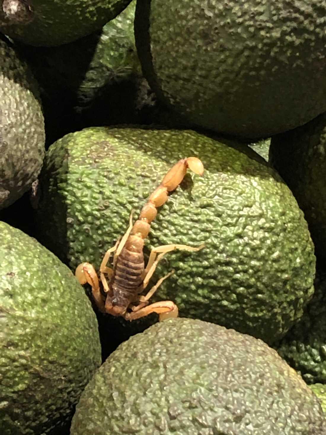 Mitt bland avokadorna låg en skorpion.