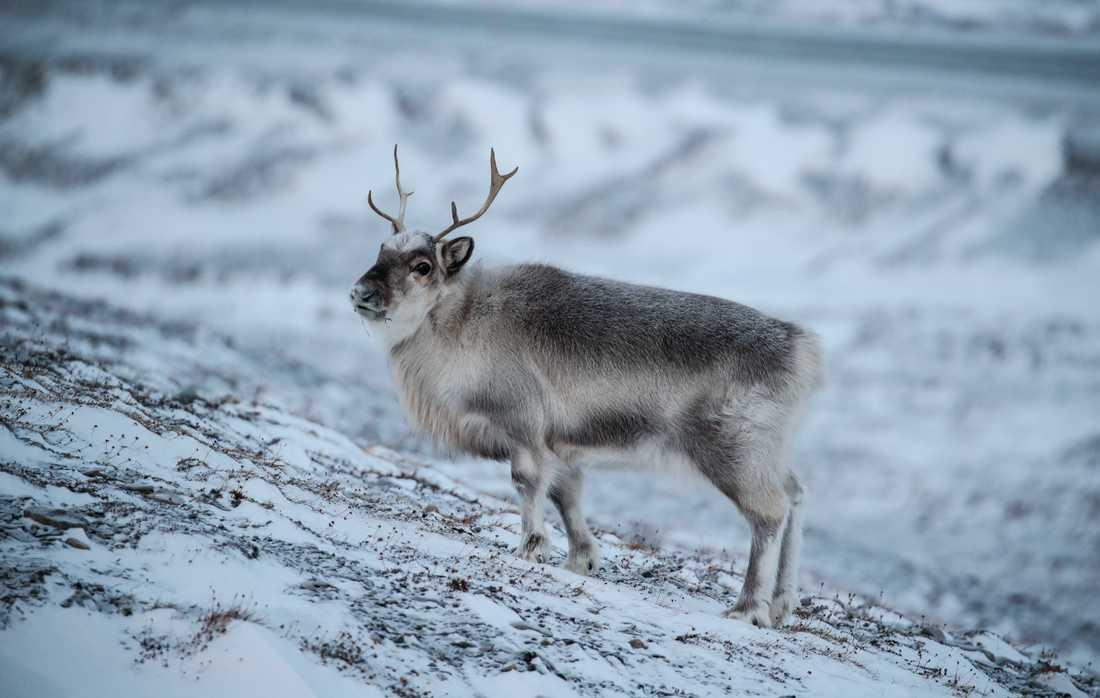 Årets långvariga vinter leder till oro inom rennäringen. Genrebild.