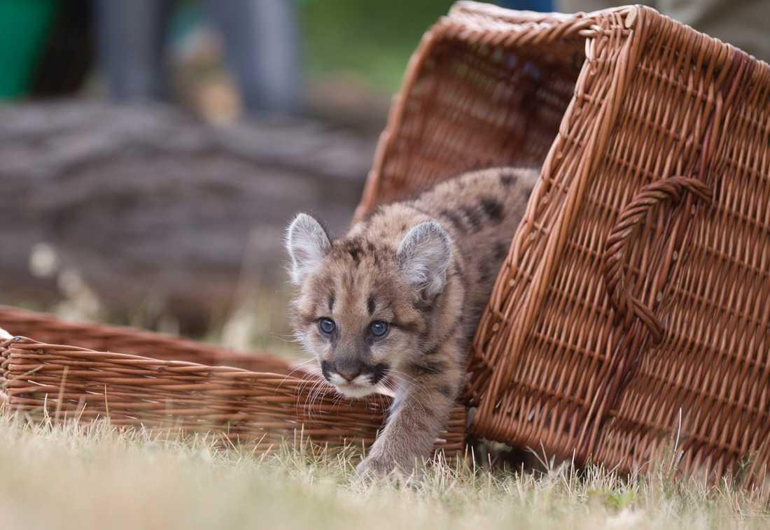 Ett stort kattdjur har siktats i skogarna runt danska Vejle. Kanske en puma? Pumaungen på bilden hör dock hemma i Berlin. Arkivbild