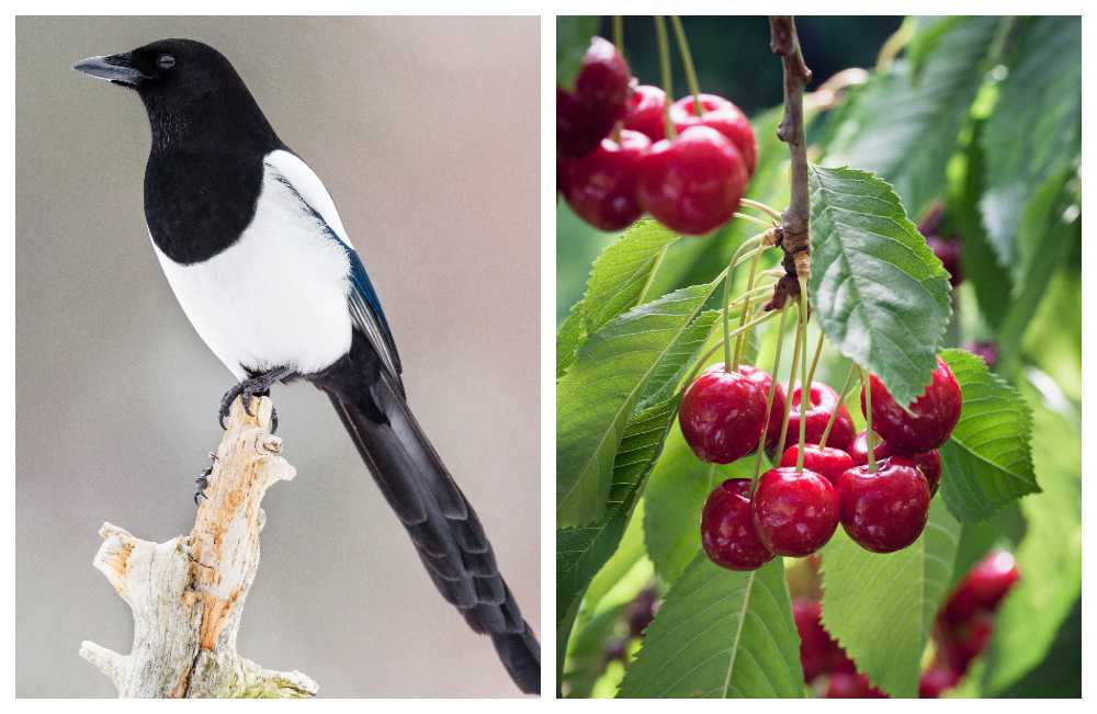 Med en fågelskrämma försvinner bärtjuvarna i ett nafs.