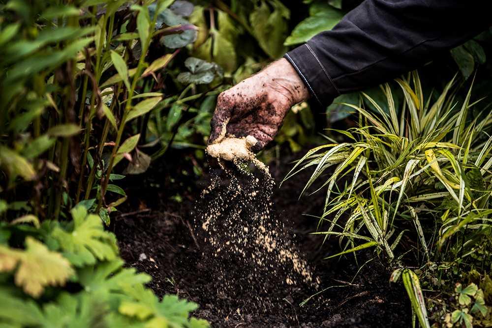 Gräv en grop och pytsa i lite benmjöl. Bra näring för löken.