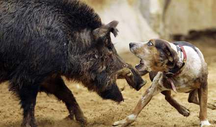 Hundarna hetsas mot svinen i den nya hundsporten hog-dogging. Sporten har snabbt blivit populär i USA.