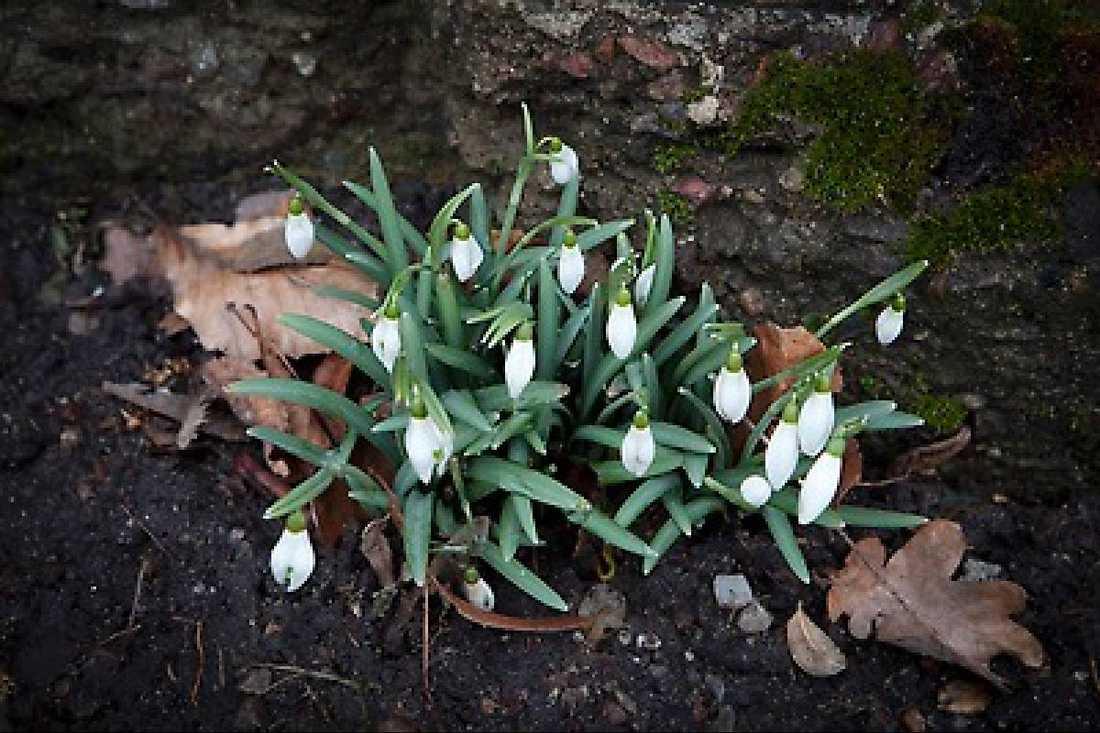Blommor har även börjat spira i södra Sverige. Båda bilderna är tagna i Malmö.
