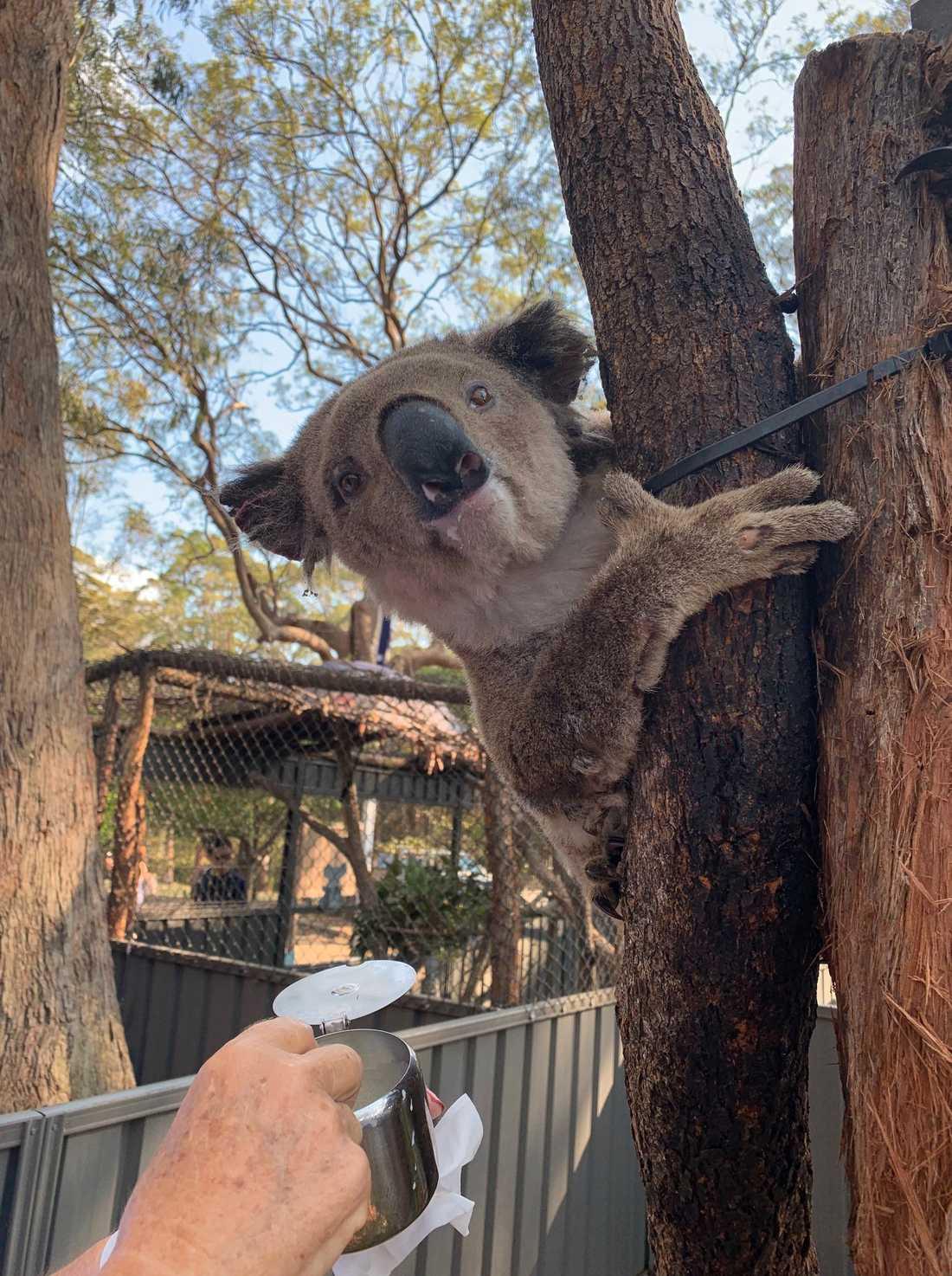 Brännskadade koalan Austin, som hittades av en bilist.