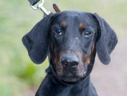 2. Alfons, dobermann, hane 1 år. Alfons bodde med en annan hund som bet honom. När han kom in hade han stora sår över hela kroppen och var så nervös att han bet sönder sin svans. doberman@algonet.se